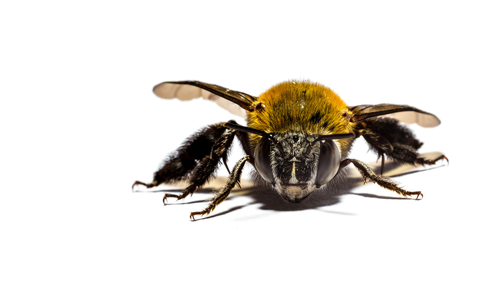 Fine Art Photography - Macro Photograph of a Bee